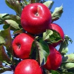 Amasya Elma Fidanı (Açık Kök)