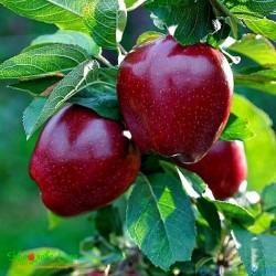 Arapkızı Elma Fidanı (Açık Kök)