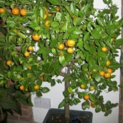 Calamondin Orange Süs Mandalina Fidanı