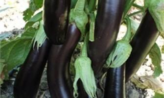Patlıcan Fidesi Dikimi ve Yetiştirilmesi