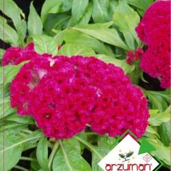 Horozibiği Çiçeği