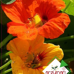 Laden Çiçeği