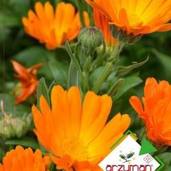Portakal Nergisi Çiçeği