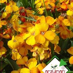 Sarı Şebboy Çiçeği